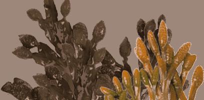 Sea Kelp & Seaweed...
